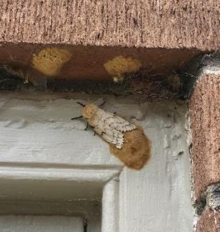 Female with egg masses