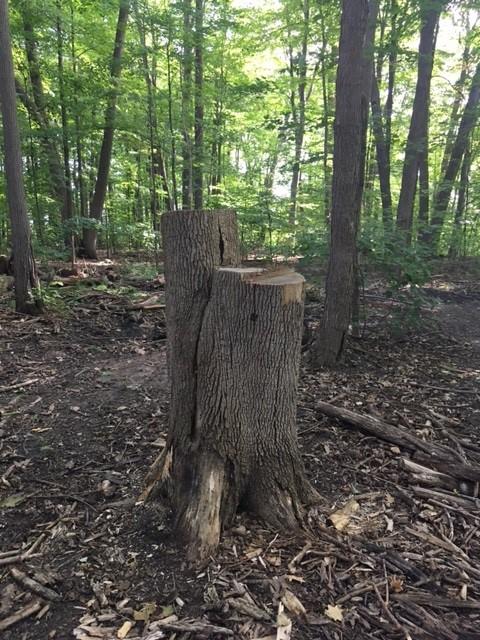 new tree snag in Elmhurst forest